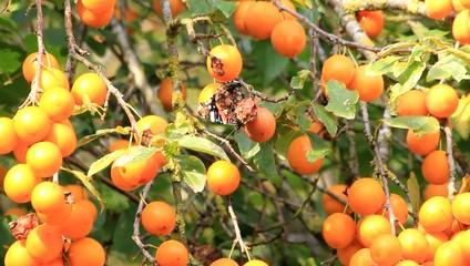 Schmetterling frisst verdorbene gelbe Pflaume am Baum