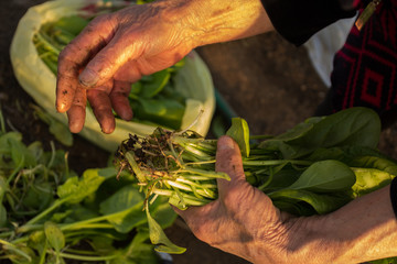 Green spinach in old woman's hands