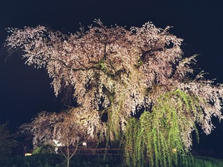 祇園枝垂れ桜