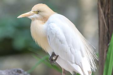 Cattle Egret (Bubulcus ibis) in bird park of Kuala Lumpur