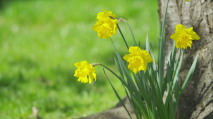 Daffodils swaying in the breeze on a bright day