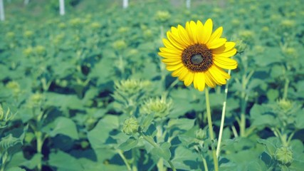 Beautiful One Sunflowers with light blue sky, space for text