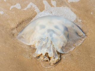 Died jellyfish