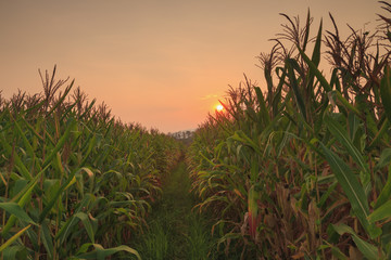 agriculture farm corn area with sunset