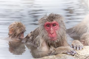 温泉を楽しむ おじいさんと孫のおさる Monkey of the snowy hot spring