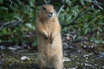 Arctic ground squirrel, Wrangell–St. Elias National Park, USA