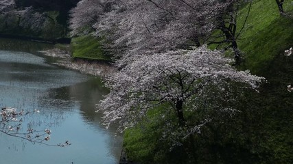 This scene is the cherry Chidorigafuchi in Tokyo.