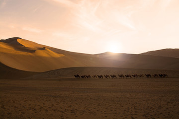 Camel caravan going through the sand dunes in the Gobi Desert, C