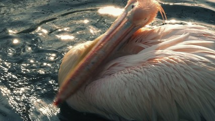 Pelican Splashing Wings In The Water
