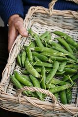 Gardener holds a basket of fresh peas