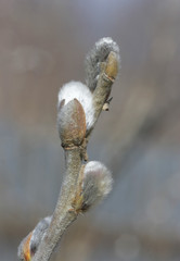 Willow branch.