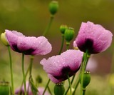 Pink poppies with morning raindrops