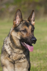 german sheepdog portrait