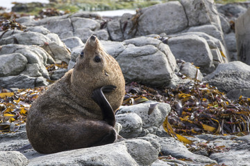New Zealand Fur Seal (Arctocephalus forsteri) scratching it's ne