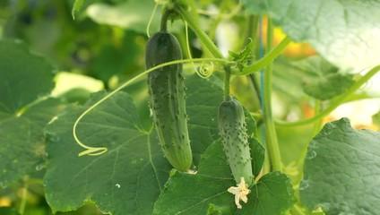 cucumber growing in the vegetable garden