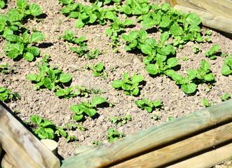 culture de pomme de terre nouvelle dans carré potager