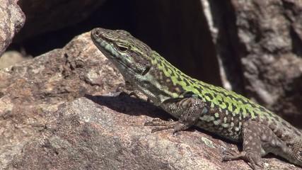 detail lizard