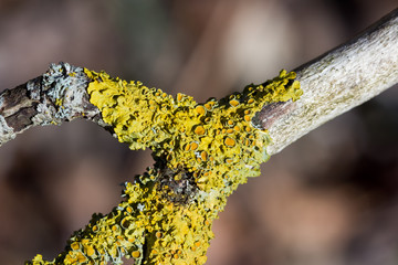 Yellow lichen growing on a tree branch on a sunny day
