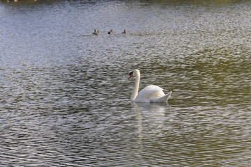 Swan and ducks paddled idly on the lake