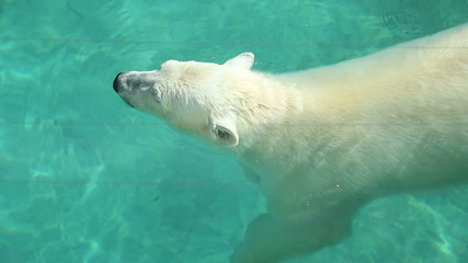 Polar bear swimming in the water in the pool enclosure at the zo