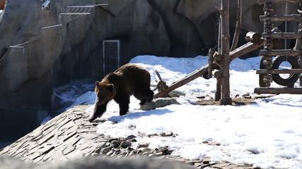 Brown bear in a big enclosure at the zoo