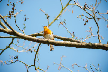 cute little robin bird singing on a spring time tree branch