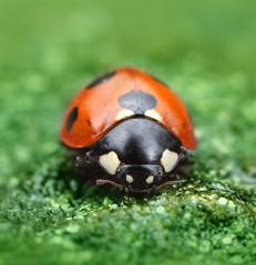 Ladybug on green natural background