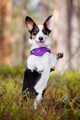 beautiful corgi dog in a bandana