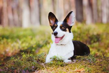 welsh corgi cardigan dog lying down outdoors