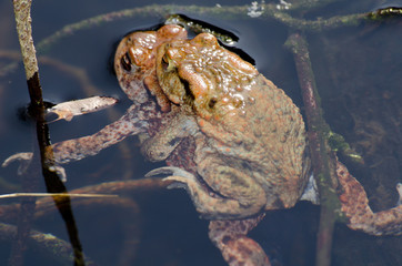 Krötensex close-up