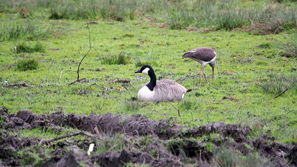 An American Ibis searches for food next to a Canada Goose