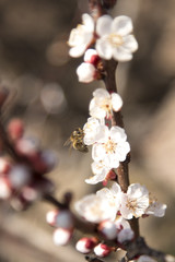 bee pollinates flowers apricot tree