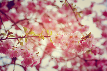 Grußkarte - Japanische Kirschblüten