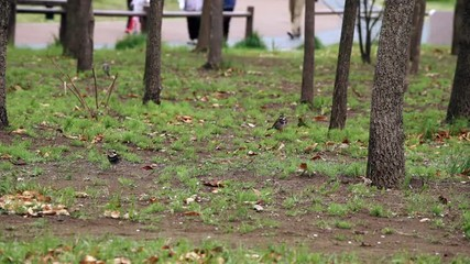 えさを求め土を掘るツグミ