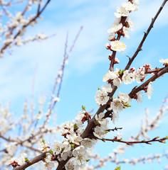 flowering cherry sakura