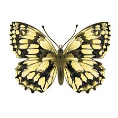 Butterfly  Melanargia galathea vector