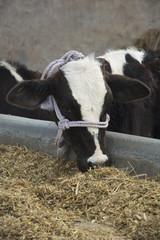 A Cow Feeding at a Dairy Farm