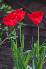 Blooming tulips on the flowerbed