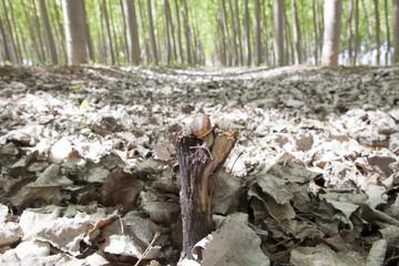 Snail on poplar forest