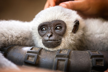 young monkey enjoys pampering