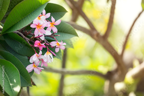 Foto op Plexiglas Indonesië tropical flower frangipani