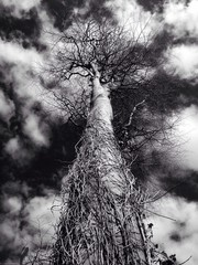 towering tree sky
