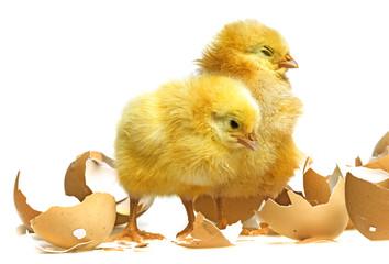 newborn chickens