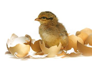 newborn chicken