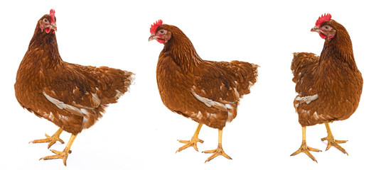 a brown hen isolated on a white background
