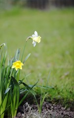White and Yellow Daffodil's