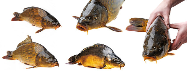 carp on a white background - collection