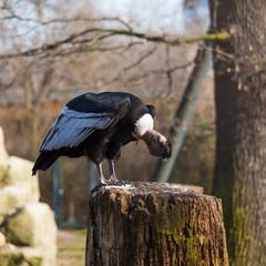 Griffon vulture . Gyps fulvus