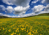 Fototapeta spring meadow with dandelions