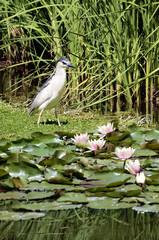 Night Heron standing on the water's edge